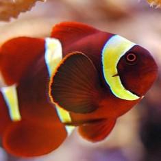 Морская аквариумная рыбка Premnas biaculeatus / Премнас красный (маврианский)