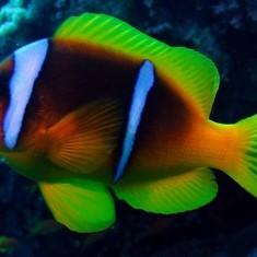 Морская аквариумная рыбка Amphiprion bicinctus / двухполосый клоун