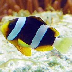 Морская аквариумная рыбка Amphiprion clarkii black / Клоун Кларка черный