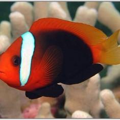 Морская аквариумная рыбка Amphiprion melanopus / Клоун красно-черный