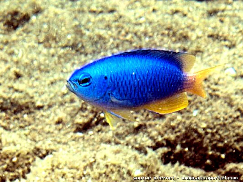 Рыбка для аквариума Pomacentrus coelestis / Неоновый помацентр